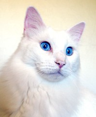 Cerulean, One of My Two Cats ~ Cerulean is a Man Cat (Pixel Packing Mama) Tags: beautiful wow lovely1 gorgeous adorable stunning catsandkittensset flickrwow whitecats blueeyedcats pixelpackingmama blueeyedanimalspool catfaces dorothydelinaporter wowphotos beautifuluniverse montanathecat~fanclubpool focusonthehead whiteanimals ceruleanthecat~fanclubpool canonallcanonset thecorvallisoregonyears thecorvallisoregonyearspart5 canonpowershota720isset siamesecatsandtheirfelinebrotherspool uploadedsecondhalfof2008set pixelpackingmama~prayforkyronhorman oversixmillionaggregateviews over430000photostreamviews