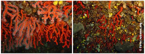Pesca ilegal de corall vermell