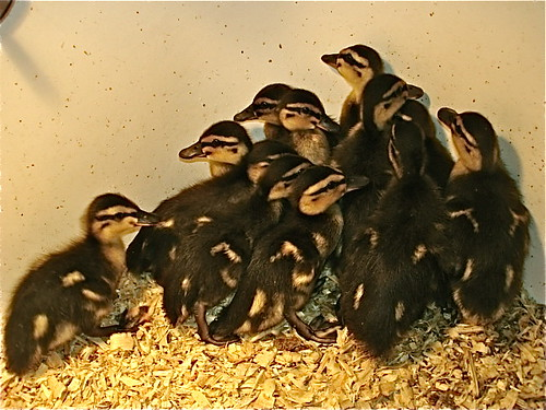 dozen-baby-ducks
