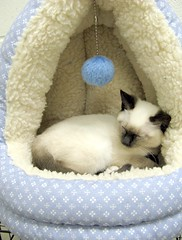 Zoey, a Girl Siamese or Siamese Mix Kitten (Pixel Packing Mama) Tags: catsandkittensset heartlandhumanesociety pixelpackingmama dorothydelinaporter worldsfavorite cc100 catcentury montanathecat~fanclubpool favoritedpixset spcacatspool ceruleanthecat~fanclubpool canonallcanonset thecorvallisoregonyearsset thecorvallisoregonyearspart5set canonpowershota720isset allcatsallowedpool uploadedsecondhalfof2008set cbatdef update4sure update4sureset pixelpackingmama~prayforkyronhorman oversixmillionaggregateviews over430000photostreamviews