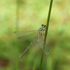 with open eyes (P. J. McAdie) Tags: bokeh damselfly hbw archilestesgrandis greatspreadwing supereco