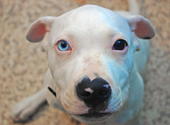 Heterochromic dude (S Alex Maier) Tags: park ohio rescue dog love happy eyes live steve happiness national valley cuyahoga grateful shelter society gratitude happyface akron humane maier liveinthemoment heterochromic photofaceoffwinner thechallengefactory weltenshaung