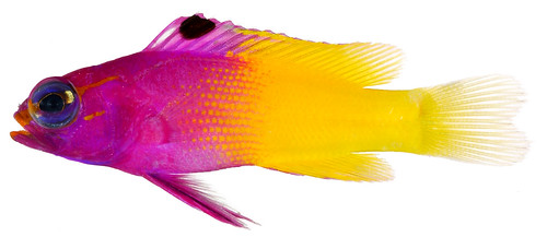 Gramma loreto, Adult (Royal Gramma), 2002, National Museum of Natural History, Division of Fishes