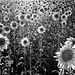143 | sunflowers by Matilde B.