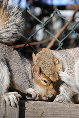 Squirrels (Massimo Valiani) Tags: city love animals squirrels future amore animali futuro citt scoiattoli