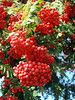 Bountiful (Gemma Grace) Tags: autumn red ontario canada bush berries bountiful firethorn riotofcolours pyrocanthacoccinea