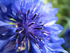 Cornflower for Miss Sim... :-) (Mary Trebilco) Tags: flowers blue flower macro green canon bokeh explore stamen handheld pollen untouched supermacro cornflower bluebottle basketflower bachelorsbutton centaureacyanus straightfromthecamera sooc powershots3is canonpowershots3is straightoutofcamera boutonniereflower hurtsickle agiftfromtassiesim