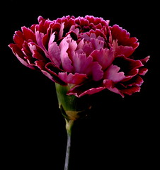 Carnation (Vanda's Pictures) Tags: flower petals purple vanda carnation excellence flowersadminfave mywinners 1on1flowersphotooftheweek auniverseofflowers 1on1flowersphotooftheweekdecember2008
