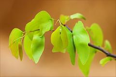 Mopane leaves (AnyMotion) Tags: africa travel nature leaves reisen afrika botswana 2008 bltter anymotion bej mopane mywinners abigfave anawesomeshot colophospermummopane