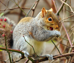 When a Squirrel Eats A Sour Berry (ozoni11) Tags: nature animal animals interestingness berry nikon squirrel squirrels berries searchthebest critter explore critters 272 d300 blueribbonwinner supershot interestingness272 michaeloberman explore272 anawesomeshot ozoni11 citrit