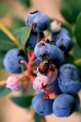 Berry Blue Bugged (Ronaldo F Cabuhat) Tags: bugs blueberry pickyourown japanesebeetle popilliajaponica rebelxti cabuhat bugonablueberry beetlesittingonblueberry
