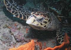 Turtle at Bazaruto