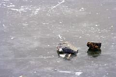 Stones in Ice (Marianne de Wit) Tags: winter ice dutch landscape wintertime dutchlandscape dutchwinter schaatsen scating rottemeren nationalparkdehogeveluwe nederlandsewinter nederlandselandschappen