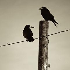 Like a bird on a wire (Dan Baillie) Tags: sky bird sepia square scotland wire nikon pole portfolio rook animalplanet dumfriesandgalloway corvids puddock wigtownshire danbaillie kirkcowan bailliephotographycouk bailliephotography wigtownshirephotographer dumfriesandgallowayphotography