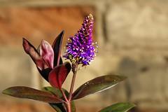 Purple (@Doug88888) Tags: pictures winter cold flower nature wall digital canon eos photo leaf stem purple natural image bokeh picture images buy dslr purchase 400d doug88888