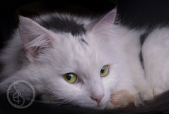 SBP_7156 (KaTrina Blanks) Tags: portrait pet cats cute animal animals cat nc furry kitten chat fuzzy kitty northcarolina kittens gato cuddly furryfriday gatto ritratto gatti animale kedi portre chaton petportrait gattino poils hayvan carino irin gattini sevimli peloso kediler animaledomestico bulank pisipisi yavrukedi affettuoso evcilhayvan tyl camoments venerdpeloso momentidigatto ritrattodacompagnia tylcuma kedianlar hayvanportre