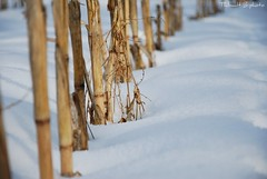 Winter.. (Thibault B Photography) Tags: winter snow france nature grenoble hiver neige blanc bambou tige isère sinard
