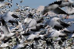 Snow Geese (Hawg Wild Photography) Tags: mtbaker snowgeese firisland skagitcountywashington