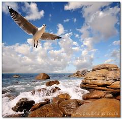Seagull (Panorama Paul) Tags: seagull soe novideo nohdr bej shieldofexcellence nikfilters vertorama nikond300 goldstaraward ostrellina thegreatshooter wwwpaulbruinscoza
