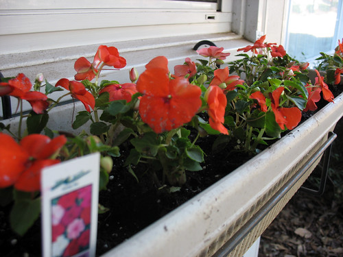 Bright Orange Impatiens: Week 1