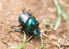 Dung Beetle, Mazumbai Forest, Usambara Mountains, Tanzania