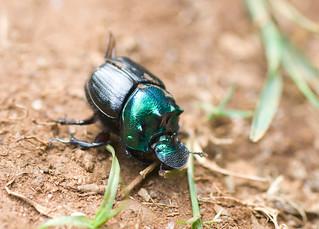 Dung Beetle, Mazumbai Forest, Usambara Mountains, Tanzania