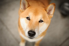 The Prince (kaoni701) Tags: sf sanfrancisco portrait dog 50mm meetup bokeh fillmore shibainu shiba missionbay zuko d700 notsuki