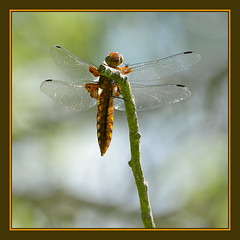 Broad-bodied Chaser (f) (Full Moon Images) Tags: wood macro nature female insect dragonfly wildlife reserve monks broad cambridgeshire chaser broadbodied bodied