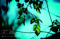 Teal Leaves (tanyamarieee10) Tags: california blue trees summer green nature leaves cali electric hawaii spring maple oak vines pretty bokeh teal branches foliage tropic lime vibes vibe electic circularbokeh electricgreen