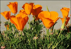 Poster Poppies