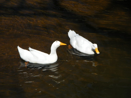 Ducks in the Main Canal