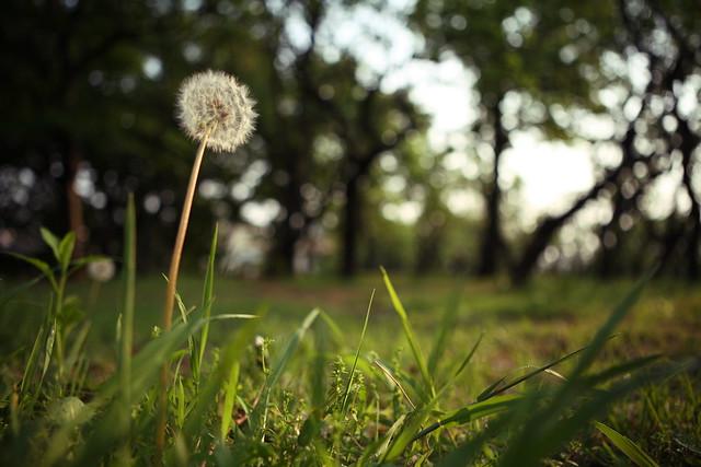 草むらタンポポ