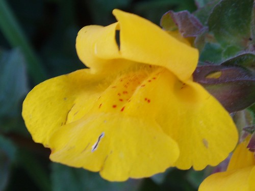 Common Large Monkeyflower