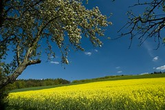 Rapsfeld bei Bad Camberg (Quasebart) Tags: blue nature field yellow germany landscape deutschland day feld rape loveit clear raps soe canola gettyimages brassica rapeseed rapsfeld brassicanapus supershot colorphotoaward overtheexcellence goldstaraward ilovemypics natureselegantshots absolutelystunningscapes flickrbestpics flickrlovers 100commentgroup