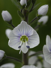 Veronica gentianoides (Britta's photo world) Tags: white plant flower macro nature closeup perfect lovely britta speedwell 60mmf28dmicro niermeyer abigfave excellentphotographerawards theunforgettablepictures veronicagentianoides overtheexcellence platinumheartaward qualitypixels llovemypics