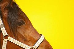 calexico:all the pretty horses (visualpanic) Tags: horse animal yellow composition caballo 2008 mirada cavall browm maig santpaudordal hpicasantpau