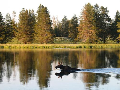 Henry's Fork Moose
