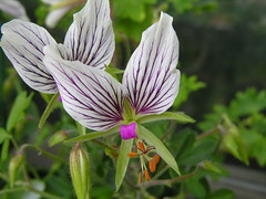 pelargonium praemorsum (g.fulvia) Tags: flowers fiore pelargonium geranio pelargonio praemorsum