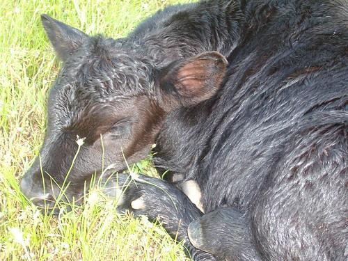 cow 002