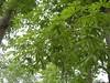 97.05.22平和國小吉貝木棉老樹DSCN0713