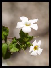 Petite (Kirsten M Lentoft) Tags: white flower macro garden supershot momse2600 kissesback multimegashot andaphotoforyou backwithoneeyeopen yawnnnn kirstenmlentoft
