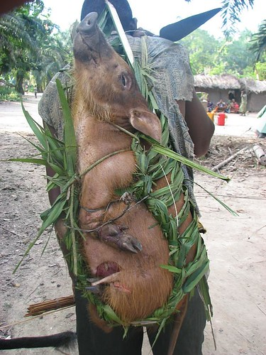 A forest pig being bought back to Katopa