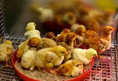 baby chicks II