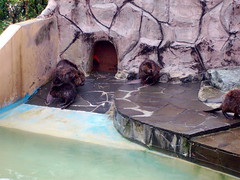 Beavers! (FlutterbyNessa) Tags: animals matsushima japanaquarium