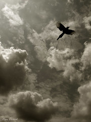 Fly... ((SD)) Tags: life sky clouds fly iran mazandaran crow  sina danesh      s3is  qaemshahr sinadanesh