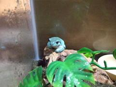 DSCF3256 (Frog Style) Tags: wood blue tree june tank frog idaho boise whites amphibians phase 2008 reptiles hoppy boiseidaho whitestreefrog june2008 bluephasewhitestreefrog