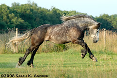 Atlas the Playful Percheron (Rock and Racehorses) Tags: horse playing beautiful grey play steel tail stock nj atlas gallopinghorse leap playful leaping mane draft gallop dapple greyhorse percheron galloping dressage dapplegrey leapinghorse dapplegreypercheron