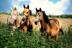 threesome (Dan65) Tags: horse male gold golden infant belgium young breed colt stud stallion pedigree buckskin dun yearling cremello teke akhal akhalteke
