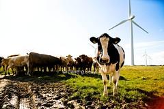 Modern Irish Farming (Dave G Kelly) Tags: ireland irish windmill animal animals electric rural countryside cow energy power cattle cows farm farming sigma bull bulls irland electricity environment wexford f28 windfarm windturbines 2470mm canoneos5d sigma2470mm sigma2470mmf28 sigma2470mmf28exdgmacro windenergieanlage electricpower top20ireland winpark davegkelly