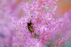 Trapped in pink mist (mdanys) Tags: life pink flower macro smile wow insect wasp best osama bee lovely danys supershot platinumphoto aplusphoto naturewatcher colourartaward goldstaraward excellentsflowers awesomeblossoms mindaugasdanys mdanys